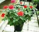 【てしまの苗】ミニバラフォーエバーローズ ギフト6号鉢花・蕾...