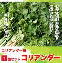 【てしまの苗】H29年4月上旬より順次発送【1株】コリアンダー 実生苗  9cmポット10P18Jun16野菜苗