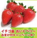 おいCベリー いちご苗 イチゴ苗 9cmポット  10P18Jun16