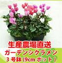 ガーデンシクラメン 苗 選べる花色 1ポット3号(9cmポット)