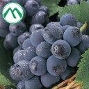 みらさかピオーネ 青秀2房箱 1kg 広島県産 85479:フルーツ・果物