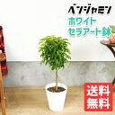 10/24まで限定価格 ベンジャミン 6号 ホワイト セラアート鉢 送料無料 フィカス ベンジャミナ 観葉植物 おしゃれ 中型 小型 フィカス ゴムの木 インテリア