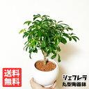 シェフレラ 丸型陶器鉢植え 卓上サイズ 観葉植物 送料無料 即日出荷 ミニサイズ 小型 インテリア