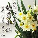 水仙 生花【越前福井県産 30本】約35cm〜55cm正月飾りやお歳暮にどうぞ♪