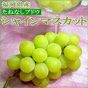 福岡産 シャインマスカットぶどう1.4kg(350g×4パック)人気の種無し葡萄 食べやすくとっても美味!ヒスイ色の外観も美しい新ブドウです シャインマスカット ギフト gift