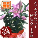 母の日ギフト 3月早割 ユリの花鉢 ピンク 花のプレゼントに最適 品種確認中 母の日限定フラワーギフト2017 花鉢 Mothe…