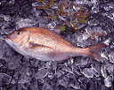 【紀州産】活〆真鯛[養殖](約1kg)