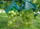 ロザリオビアンコ2kg(特秀品/3〜4房入)※種有り品種です。