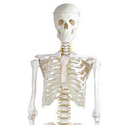 全身骨格模型 標準型 等身大 IK10