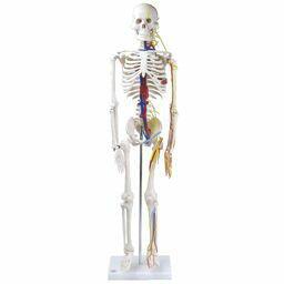全身骨格模型 1/2サイズ 主要動脈・静脈・神経根付 IK22