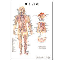 人体チャート リンパ系 ポスターサイズ・ラミネート版 86×62cm 医道の日本社