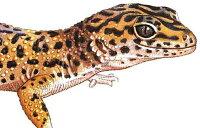Leopard Gecko ヒョウモントカゲモドキ 版画 ECOユニバース(エコユニバース)