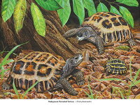 Flat-tailed Tortoise ヒラオリクガメ 版画 ECOユニバース(エコユニバース)