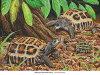 【サイン入り限定版】【数量限定】Flat-tailed Tortoise(ヒラオリクガメ)
