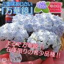 【母の日のプレゼント】八重咲きアジサイ『万華鏡』ブルー 5号鉢カゴ入り