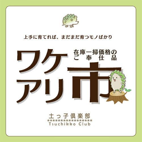 【訳あり・在庫処分】奇跡の薬草『ボルトジンユ』4号鉢植え