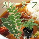 カレーの木『カレーリーフ』 9cmポット苗(ナンヨウザンショウ、オオバゲッキツ)