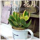 多肉植物 『斑入り花月』(黄金錦) 9cmポット苗