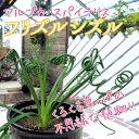【珍種】アルブカ・スパイラリス『フリズルシズル』 3.5号鉢
