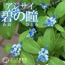 【珍種】常緑アジサイ『碧の瞳』(アオノヒトミ)9cmポット苗【ポイント10倍 5/4昼頃まで】