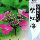ヤマアジサイ 『 紫紅梅 』 9cmポット苗