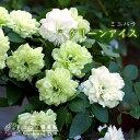 ミニバラ『グリーンアイス』 9cmポット苗×2個組