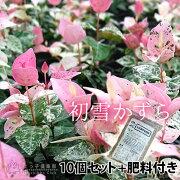 初雪かずら 9cmポット苗 【 肥料800gプレゼント 】 【 10個セット 】