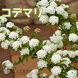小手毬(コデマリ) 花芽付き 18cm鉢植え