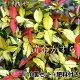 黄金かずら 9cmポット苗×10個 +肥料800gプレゼント 05P03Dec16