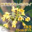四季咲き金木犀(キンモクセイ) 3年生 5号(15cm)ポット苗 05P07Feb16