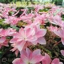 八重咲きアジサイ『ダンスパーティ』 10.5cmポット苗