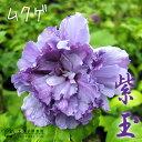 ムクゲ『紫玉(シギョク)』 15cm鉢植え
