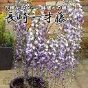 長崎一才藤(花ふじ) 6号鉢植え 《花芽付き》