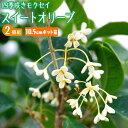 スイートオリーブ 『 四季咲きモクセイ 』 10.5cmポッ...