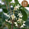 スィートオリーブ『四季咲きモクセイ』10.5cmポット苗/2個組 05P27May16