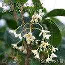 スィートオリーブ 四季咲き モクセイ