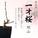 売り切れ御免!【桜盆栽】一才桜【旭山(あさひやま)】