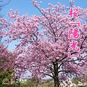 桜 ( サクラ ) 『 陽光 』 15cmポット苗