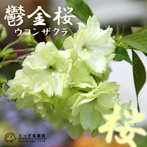 楽天市場】黄桜『鬱金桜(ウコン...