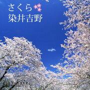 桜 『 染井吉野 ( そめいよしの ) 』 15cmポット苗