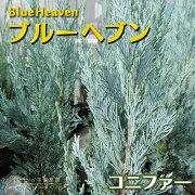 コニファー 『 ブルーヘブン 』 15cmポット苗