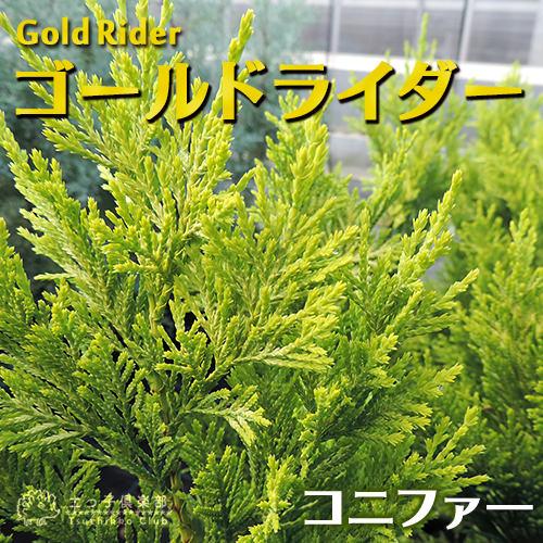 コニファー『ゴールドライダー』 15cmポット苗の商品画像