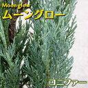 コニファー『ムーングロー』 15cmポット苗