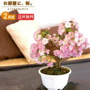 桜盆栽 一才桜 『 旭山 ( あさひやま ) 』 【 送料無料 】 【 2個セット 】 ≪ 花芽付き ≫