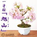 【サクラ盆栽】 一才桜 『旭山(あさひやま)』《花芽付き!!》 05P03Dec16