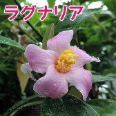 【珍種】ラグナリア 12cmポット苗