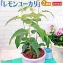 ユーカリの木 『 レモンユーカリ 』 10.5cmポット苗 【 送料無料 】 【 2個セット 】