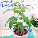 ユーカリの木 『 レモンユーカリ 』 10.5cmポット苗