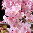 桜「河津桜(かわづざくら)」15cmポット苗