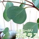 丸葉ユーカリ 『ポポラス』(シルバーダラーガム)10.5cmポット